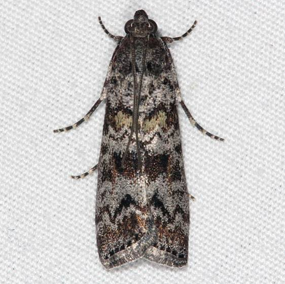 5841 Evergreen Coneworm Moth Bader's house palm Coast FL 3-21-15