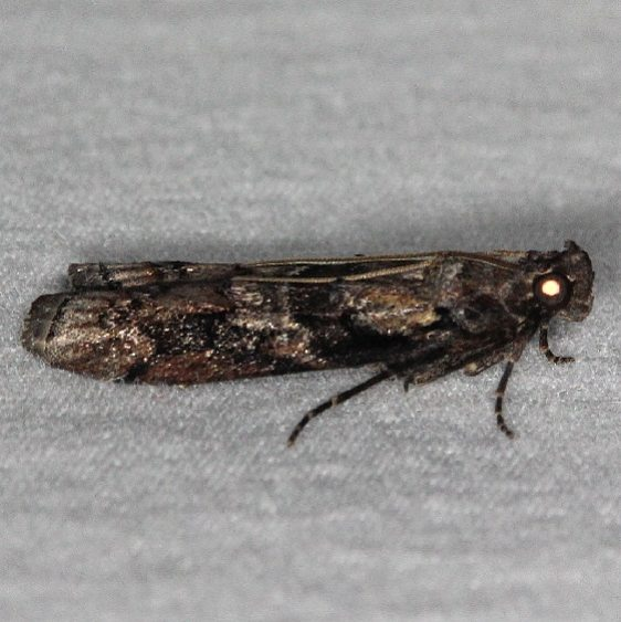 5863.1 Blister Coneworm Moth Bader's house Palm Coast Fl 3-21-15