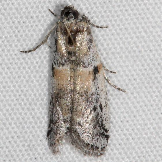 5960 Rostrolaetilia nigromaculella BG tentative has russet color below black along the outer margin or 5963_opt
