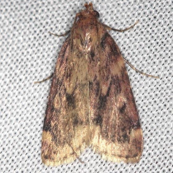 5512 Pink-masked Pyralid Moth Shawnee St Pk Oh 6-15-13