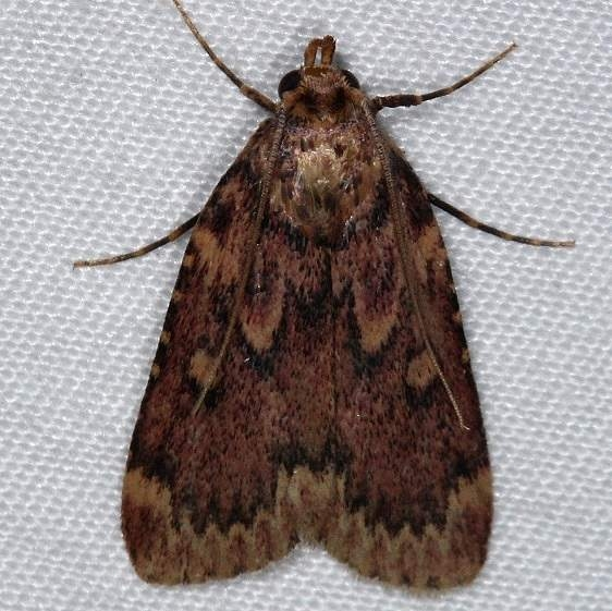 5518 Grease Moth yard 8-23-14