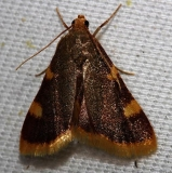 5524 Clover Hayworm Moth yard 5-25-12