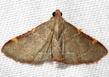 5530 Pink-fringed Dolichomia Moth Lake Kissimmee St Pk Fl 2-26-13 (89a)
