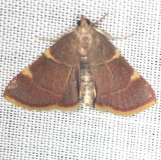 5533 Yellow-fringed Dolichomia Moth yard 6-8-13