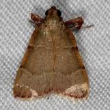 5540 Basacallis tarachodes Rodman Campground Fl 3-20-14