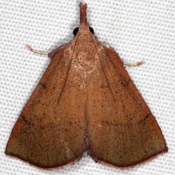 5550 Lepidomys irrenosa Favre Dykes State Park Fl 2-18-17_opt