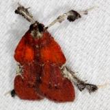 5552 Boxwood Leaftier Moth yard 7-14-13