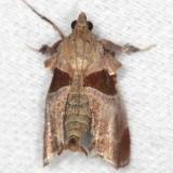 5556 Dimorphic Tosale Moth yard 6-8-13
