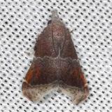 5565 Streptopalpia minusculalis Village Creek St Pk, Texas 11-6-13