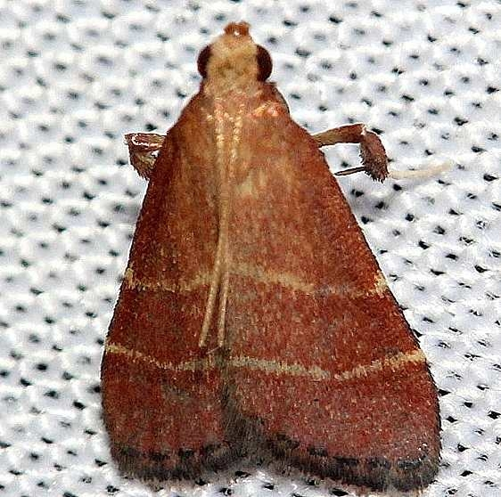 5566 Posturing Arta Moth yard 7-22-12