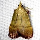 5568 Olive Arta Moth Arta olivalis Shawnee St Pk Oh 6-15-13