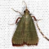 5568 Olive Arta Moth Campsite 119 Falcon St Pk Texas 10-27-16_opt