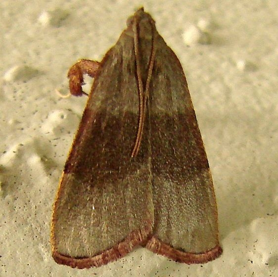 5568.97 Unidentified Arta Moth Juniper Springs Ocala Natl Frt 3-16-12