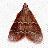 5574 Heliades mulleolella Alexander Springs Ocala Natl Forest 3-19-13