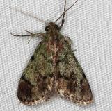 5577 Dimorphic Macalla Moth Epipaschia superatalis Rodman Campground Fl 3-21-14