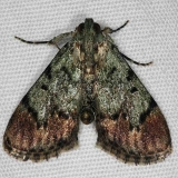 5577 Dimorphic Macalla Moth yard 6-14-14