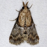 5580 Yellow-based Cacozelia Moth NABA Gardens Texas 11-3-13