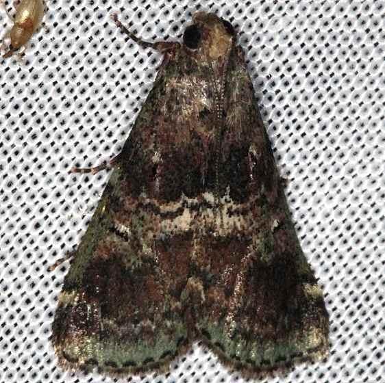 5582 Deuterollyta majuscula Collier Seminole St Pk 2-26-14