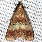 5582 Deuterollyta majuscula Mahogany Hammock Everglades Natl Pk 3-10-13