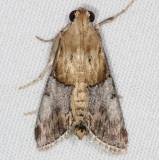 5587 Cacozelia elegans Campsite 119 Falcon St Pk Texas 10-26-16_opt