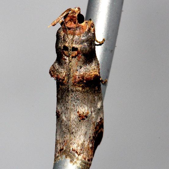 5588 Orange-tufted Oneida Moth Alexander Springs Ocala Natl Forest 3-18-13