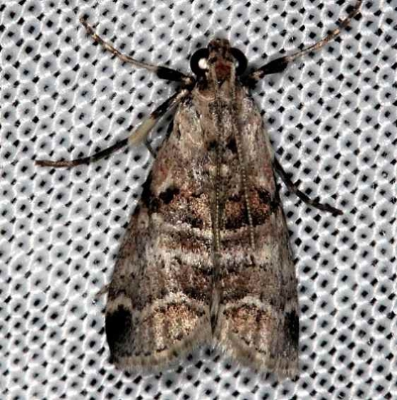 5592 Watson's Tallula Moth Collier Seminole St Pk 2-27-14