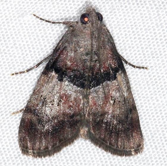 5595 Pine Webworm Moth Rodman campground Fl 3-18-14