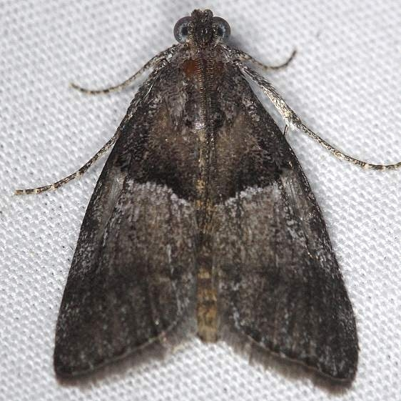 5595 Pine Webworm Moth Thunder Lake UP Mich 6-21-14