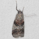 5597 Pococera melanogramma Oscar Scherer St Pk 3-15-15