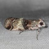 5602 Cloaked Pococera Moth P subcanalis Kissimmee Lake St Pk 3-9-14