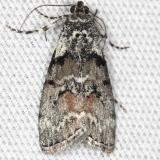 5605 Aspen Webworm Pococera aplastella yard 5-21-13