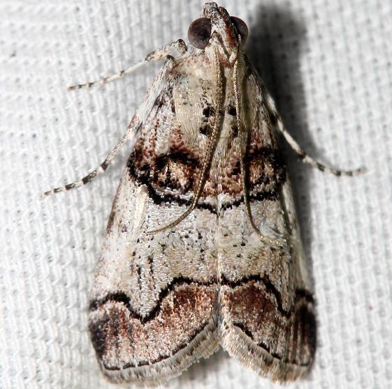 5606 Maple Webworm Moth Lake Kissimmee St Pk Fl 2-28-13