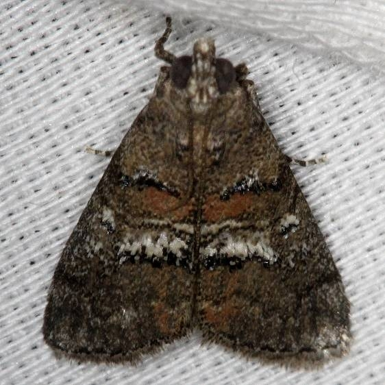 5606 Maple Webworm Moth NABA Gardens Mission, Texas 11-4-13