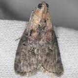 5608 Striped Oak Webworm Moth yard 6-9-13
