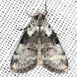 5620.97 Unidentified Pococera Moth yard 5-17-13