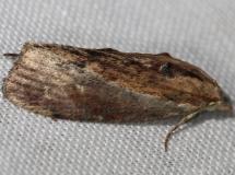 5622 Greater Wax Moth yard 6-16-12