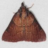 5627 Asimina Webworm Moth Oscar Scherer St Pk 3-12-15