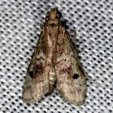 5639 Cacotherapia unipuncta Collier Seminole St Pk 2-28-14