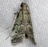 5639 Cacotherapia unipuncta NABA Gardens Texas 11-3-13
