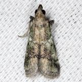 5649 Alpheioides parvulalis NABA Gardens Texas 11-3-13