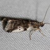 5651 Leaf Crumpler Moth yard 5-24-12