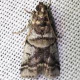 5651 Leaf Crumpler Moth yard 7-23-12