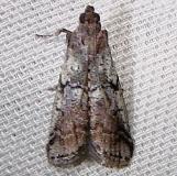 5653 Cranberry Fruitworm Moth Juniper Springs Ocala Natl Forest 3-14-12