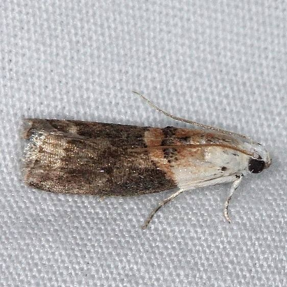 5659 Mantled Acrobasis Moth Burr Oak St Pk at cabins Oh 6-27-14