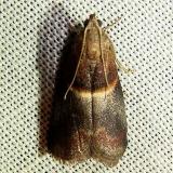 5660 Acrobasis caryalbella Jenny Wiley St Pk Ky 4-26-12
