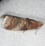 5673 Hickory Leafstem Borer Moth Burr Oak St Pk at cabins Oh 6-27-14