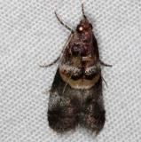 5673 Hickory leafstem Borer Moth Oscar Scherer St Pk 3-12-15