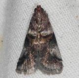 5680 Acrobasis ostryella Oscar Scherer St Pk 3-14-15