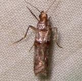 5690 Alder Tubemaker Moth Mahogany Hammock Everglades 2-25-12