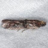 5694.97 Unidentified Acrobasis Moth Mahogany Hammock Everglades 3-1-15 (2)_opt